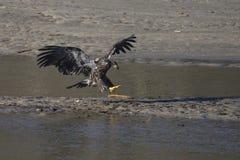 Aterragem da águia calva Foto de Stock Royalty Free