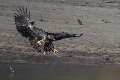 Aterragem da águia calva Foto de Stock