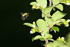 Aterragem da abelha Foto de Stock