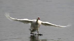 Aterragem da cisne muda Imagens de Stock Royalty Free
