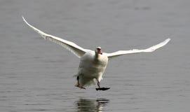 Aterragem da cisne muda Fotos de Stock