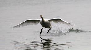 Aterragem da cisne muda Imagens de Stock