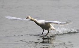 Aterragem da cisne muda Foto de Stock Royalty Free