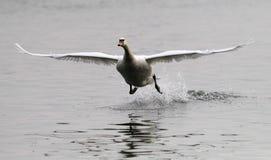 Aterragem da cisne muda Imagem de Stock
