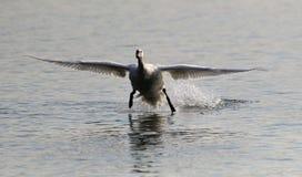 Aterragem da cisne muda Imagem de Stock Royalty Free