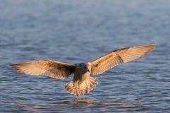 Aterragem da gaivota na água Fotografia de Stock
