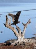 Aterragem do abutre de Turquia Imagens de Stock Royalty Free