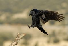 Aterragem do corvo Imagem de Stock Royalty Free