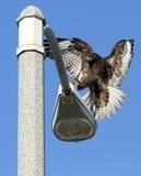 Aterragem do falcão no lamppost imagens de stock