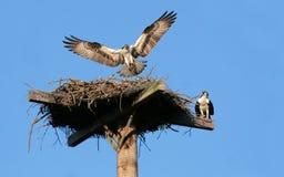 Aterragem do Osprey Imagens de Stock
