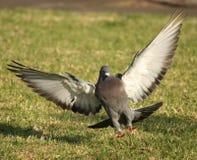 Aterragem do pombo na grama Fotografia de Stock