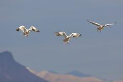 Aterragem dos gansos de neve Fotos de Stock Royalty Free