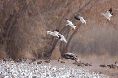 Aterragem dos gansos de neve Imagem de Stock Royalty Free