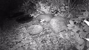 Aterrice la barra que se mueve alrededor en la tierra que busca para la comida en una capucha de la comida para gatos durante noc almacen de metraje de vídeo