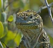 Aterrice la iguana fotografía de archivo