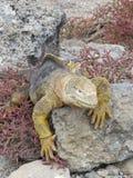 Aterrice la iguana Fotos de archivo