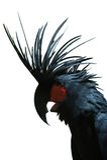 aterrimus黑色美冠鹦鹉probosciger 免版税库存照片