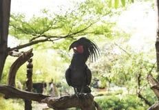 Aterrimus noir de Probosciger de cacatoès de paume étant perché sur le son Photo stock