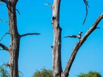 Aterrissagem africana da águia de peixes no ramo de árvore seco com céu azul fotografia de stock royalty free