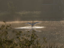 Aterrissagem - cisne branca Fotografia de Stock