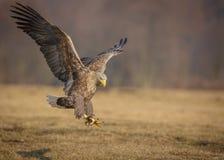 Aterrissagem da águia de mar Fotografia de Stock
