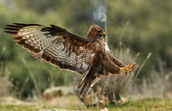 aterrissagem da águia do busardo fotografia de stock royalty free