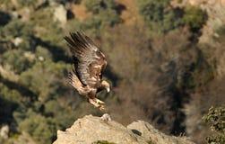 Aterrissagem da águia dourada na pedra imagens de stock