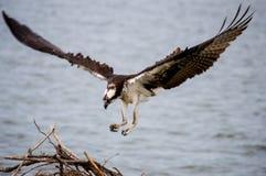 Aterrissagem da águia pescadora Imagem de Stock Royalty Free
