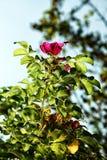 Aterrissagem da abelha em uma flor do fim selvagem da rosa acima Imagens de Stock Royalty Free