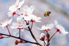 Aterrissagem da abelha na flor de cerejeira durante o pollenation foto de stock