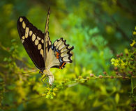 Aterrissagem da borboleta da cauda da andorinha na flor Foto de Stock