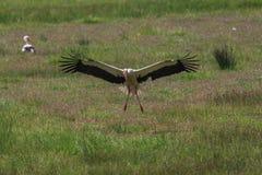 Aterrissagem da cegonha nos campos verdes Fotos de Stock