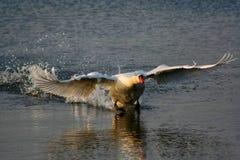 Aterrissagem da cisne fotografia de stock royalty free