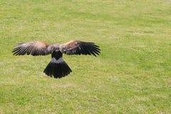 Aterrissagem da coruja Imagens de Stock