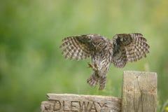 Aterrissagem da coruja pequena Foto de Stock