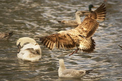 Aterrissagem da gaivota Foto de Stock Royalty Free