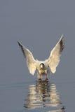 Aterrissagem da gaivota na água Imagem de Stock Royalty Free