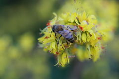 Aterrissagem de Honey Bee em flores amarelas Fotos de Stock