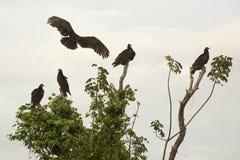Aterrissagem do abutre de turquia em um grupo de busardos em Florida fotos de stock