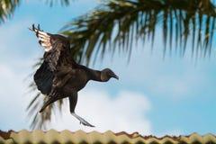 Aterrissagem do abutre em um telhado Fotos de Stock