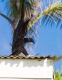 Aterrissagem do abutre em um telhado Imagens de Stock