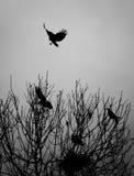 Aterrissagem do corvo em uma árvore com empoleirado outro assentamento na floresta imagens de stock royalty free