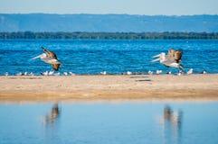 Aterrissagem dos pelicanos Fotos de Stock Royalty Free