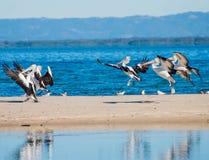 Aterrissagem dos pelicanos Imagem de Stock Royalty Free