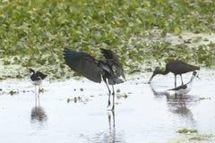 Aterrissagem lustrosa dos íbis na água de um pântano em Florida Fotos de Stock