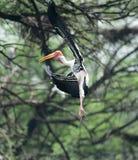 Aterrissagem pintada da cegonha em um ramo de árvore imagem de stock royalty free