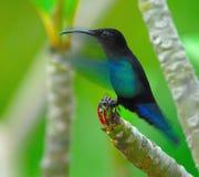 aterrissagem Roxo-throated do Carib em um ramo do Frangipani Fotografia de Stock