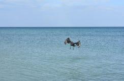 Aterrissagem selvagem bonita da galinha da água na água Foto de Stock