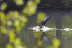 Aterrissagem selvagem do ganso em um lago imagens de stock