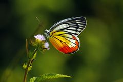 Aterrissagem tropical de Tailândia da borboleta na flor cor-de-rosa superior imagem de stock